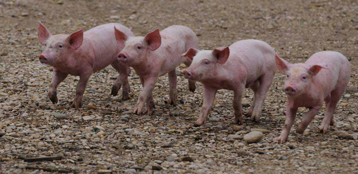 La Vie sauvage des animaux domestiques : Photo Dominique Garing, Frédéric Goupil